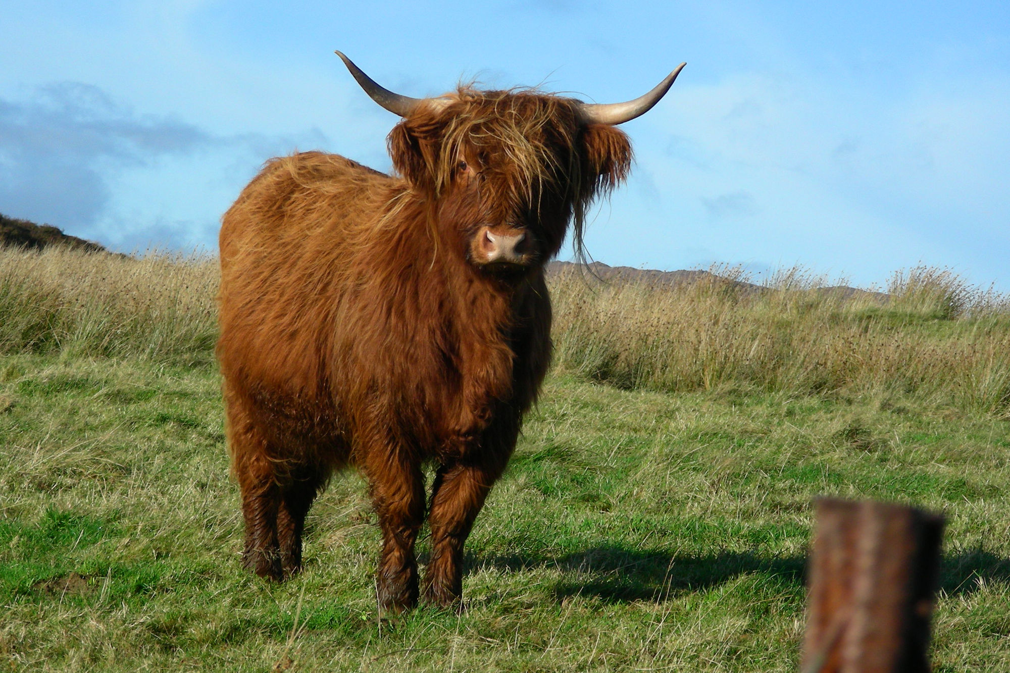 Friendly Highland Cow calf